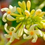 Папайя Тайланд цветы