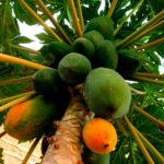 Папайя Тайланд на дереве
